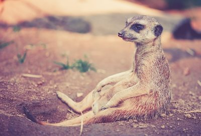 Very uncomfortable meercat in the desert heat